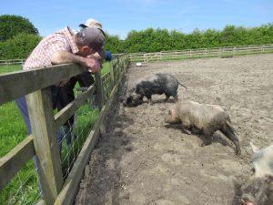 two men looking at pigs at a social farm.