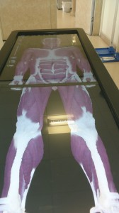 Anatomage - virtual male cadaver showing musculoskeletal system