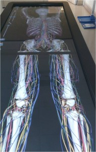 Anatomage - virtual female cadaver showing skeleton, blood supply & nerves