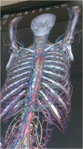 Anatomage - virtual female cadaver showing skeleton, blood supply & lymphatic system