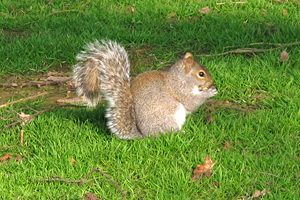 Squirrel at Keele campus.