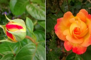 A rose as a bud and as a flower